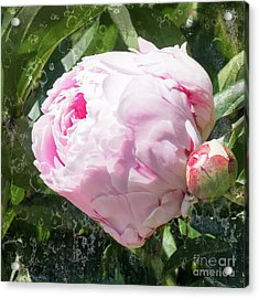 Pink Peony IIl Acrylic Print