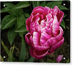 Acrylic Print featuring the photograph Pink Peony by Jean Noren