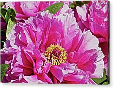 Pink Peony Acrylic Print by Joan Reese