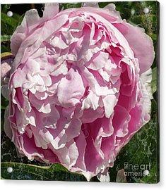 Pink Peony II Acrylic Print