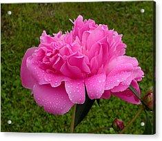 Pink Peony Acrylic Print by Raju Alagawadi