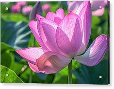 Acrylic Print featuring the photograph Pink Petals by Cindy Lark Hartman