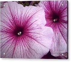 Pink Petunias Acrylic Print by Sonya Chalmers