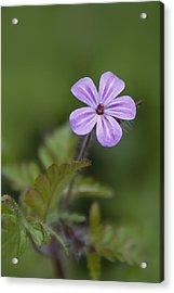 Pink Phlox Wildflower Acrylic Print