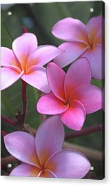 Pink Plumeria Acrylic Print by Brian Harig