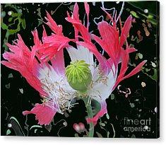 Pink Poppy Acrylic Print by Addie Hocynec