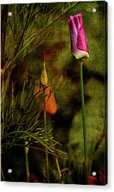 Acrylic Print featuring the photograph Pink Poppy by Fred Denner