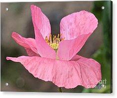 Pink Poppy Morning Acrylic Print