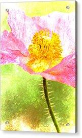 Pink Poppy On Green Acrylic Print