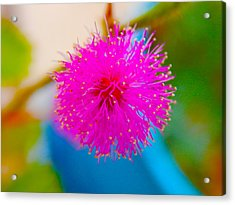 Pink Puff Flower Acrylic Print by Samantha Thome