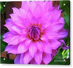 Acrylic Print featuring the photograph Pink Purple Dahlia Flower by Kristen Fox