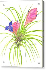 Pink Quill Acrylic Print by Penrith Goff