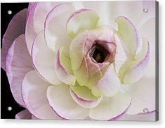 Pink Ranuncula Visit Www.angeliniphoto.com For More Acrylic Print by Mary Angelini