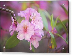 Pink Rhododendron Flowers Acrylic Print