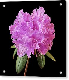 Pink Rhododendron  Acrylic Print by Jim Hughes