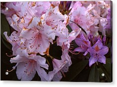 Pink Rhododendrums  Acrylic Print by Lyle Crump