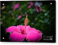 Acrylic Print featuring the photograph Pink Romance by Kelly Wade