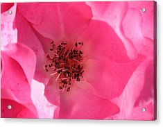 Pink Rose 1 Acrylic Print by Yvonne Ayoub
