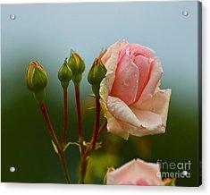 Pink Rose 2 Acrylic Print