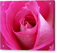 Pink Rose Acrylic Print by Amy Fose