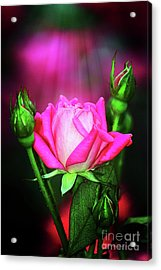 Pink Rose Acrylic Print by Inspirational Photo Creations Audrey Woods