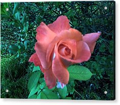 Pink Rose Awakening Acrylic Print by Misty VanPool