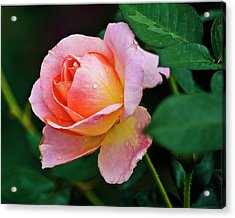 Pink Rose Acrylic Print by Bill Barber