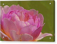 Acrylic Print featuring the photograph Pink Rose #d3 by Leif Sohlman