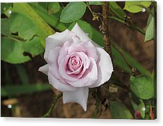 Acrylic Print featuring the photograph Pink Rose by Jerry Battle