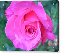 Pink Rose Acrylic Print by John Parry