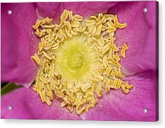 Pink Rose Acrylic Print by Jouko Mikkola