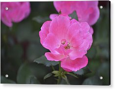 Pink Rose Acrylic Print by Linda Geiger