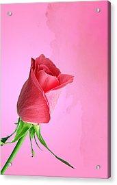 Pink Rose Acrylic Print by Mark Rogan