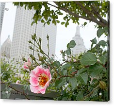 Pink Rose Of Tulsa Acrylic Print