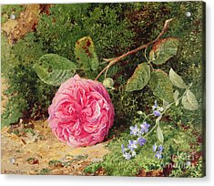 Pink Rose On A Mossy Bank Acrylic Print
