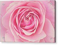 Pink Rose Petals Acrylic Print