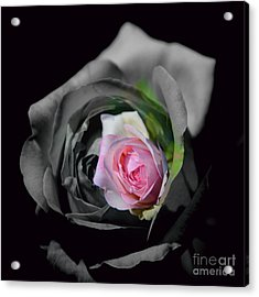 Pink Rose Shades Of Grey Acrylic Print