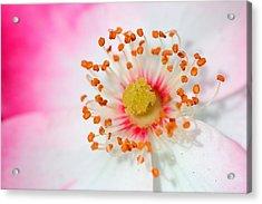 Pink Rose Acrylic Print by Svetlana Ledneva-Schukina