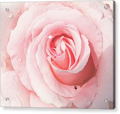 Pink Rose With Rain Drops Acrylic Print