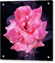 Pink Rose With Violet Acrylic Print