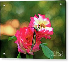 Pink Roses And Butterfly Photo Acrylic Print