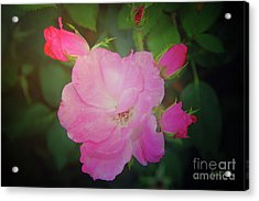 Pink Roses  Acrylic Print by Inspirational Photo Creations Audrey Woods