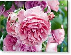 Pink Roses Acrylic Print by Frank Tschakert