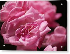 Pink Roses Acrylic Print by Heather Green