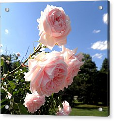Pink Roses In The Sky Acrylic Print by Kate Gallagher