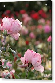 Pink Roses Acrylic Print by Laurel Powell
