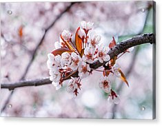 Acrylic Print featuring the photograph Pink Sakura Cherry Blossom by Alexander Senin