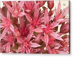 Pink Sedum Flower Macro Acrylic Print by Sandra Foster