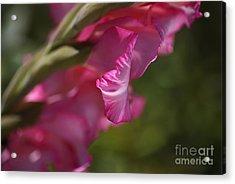 Pink Side Of Gladioli Acrylic Print