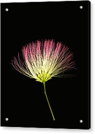 Pink Silk Acrylic Print by Deborah J Humphries